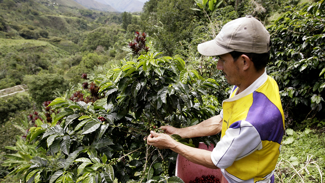 Colombian Coffee Harvesting
